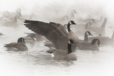 Wapiti, Wyoming. Usa. Artistic Shot of Canadian Geese in the Mist Photographic Print by Janet Muir
