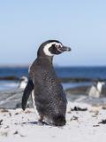 Magellanic Penguin on Beach. Falkland Islands Reproduction photographique par Martin Zwick