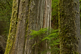 Western Hemlock Cedar Grove of the Patriarchs, Mt Rainier, Washington Photographic Print by Michel Hersen