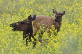 Rocky Mountain Cow Elk and Calf Photographic Print by Ken Archer