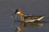 Red-Necked Phalarope Photographic Print by Ken Archer