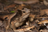 South American Crested Toad, Yasuni NP, Amazon Rainforest, Ecuador Photographic Print by Pete Oxford