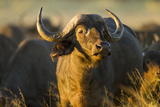 Botswana, Moremi Game Reserve, Cape Buffalo in Tall Grass at Sunset Photo by Paul Souders