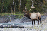 Roosevelt Bull Elk Photographic Print by Ken Archer