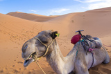 Morocco, Sahara Desert Sand Dunes Close Up of Camel for Rides Photo by Bill Bachmann