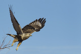 Rough-Legged Hawk Photographic Print by Ken Archer