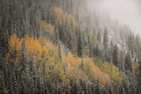 USA, Colorado, San Juan Mountains. Autumn Snowfall on Forest Photographic Print by Don Grall