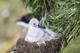 Black-Browed Albatross Chick on Tower Shaped Nest. Falkland Islands Reproduction photographique par Martin Zwick