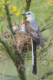Scissor-Tailed Flycatcher Adult with Babies at Nest Photographic Print by Larry Ditto
