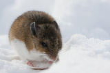 Deer Mouse in Winter Photographic Print by Ken Archer