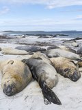 Southern Elephant Seal Males on Sandy Beach, Falkland Islands Photographic Print by Martin Zwick
