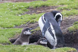 Magellanic Penguin, Pair with Chicks at Burrow. Falkland Islands Photographic Print by Martin Zwick