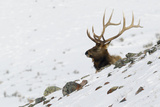 Rocky Mountain Bull Elk, Autumn Snow Photographic Print by Ken Archer