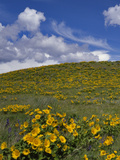 Oregon, Columbia River Gorge. Balsamroot and Lupine on Rowena Plateau Photographic Print by Steve Terrill