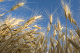 Ripening Heads of Soft White Wheat, Palouse Region of Washington Photographic Print by Greg Probst