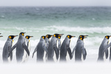 Falkland Islands, South Atlantic. Group of King Penguins on Beach Photographic Print by Martin Zwick