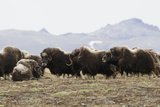 Musk Ox Herd Photographic Print by Ken Archer