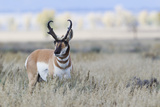 Pronghorn Antelope Buck Photographic Print by Ken Archer