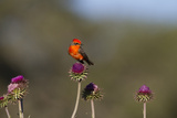 Vermilion Flycatcher (Pyrocephalus Rubinus) Male Perched Reproduction photographique par Larry Ditto