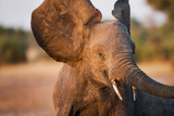 Botswana, Chobe NP, Elephant Flapping Ears as a Threat Display Photo by Paul Souders