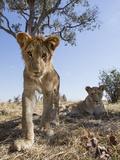 Botswana, Chobe NP, Lion Cub Approaching Remote Camera in Savuti Marsh Foto von Paul Souders