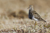 Pectoral Sandpiper Photographic Print by Ken Archer