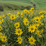 Washington, Kamiak Butte County Park. Douglas's Sunflowers Scenic Photographic Print by Don Paulson