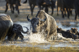 Botswana, Chobe NP, Herd of Cape Buffalo Swimming across River Photo by Paul Souders