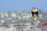 Rough-Legged Hawk Stampa fotografica di Ken Archer