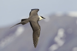 Long-Tailed Jaeger Photographic Print by Ken Archer