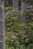 Rhododendrons Flowering in the Siuslaw NF Near Reedsport, Oregon, USA Photographic Print by Chuck Haney