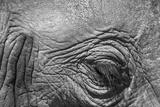 Botswana, Chobe NP, Eyeball of Elephant Standing Along Chobe River Foto von Paul Souders