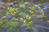 Washington, Wenatchee NF. Red Osier Dogwood over Teanaway River Photographic Print by Don Paulson
