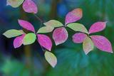 USA, Oregon, Rogue River Wilderness. Wild Dogwood Leaves in Autumn Fotografisk trykk av Jean Carter