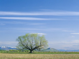 Utah. USA. Willow Tree and Cirrus Clouds in Spring. Cache Valley Photographic Print by Scott T. Smith