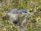 Alpine Marmot Gathering Grass for Hibernation, Hohe Tauern. Austria Photo by Martin Zwick