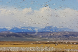 Snow Geese During Spring Migration at Freezeout Lake, Montana, USA Photographic Print by Chuck Haney