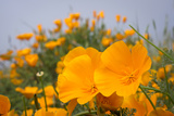 California Poppies in Montana de Oro SP, Los Osos, California Photographic Print by Rob Sheppard