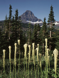 USA, Montana, Glacier NP, Bear Grass (Xerophyllum Tenax) Wildflowers Photographic Print by Christopher Talbot Frank
