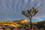 Joshua Trees in Sunset Light in Joshua Tree NP, California, USA Photographic Print by Chuck Haney