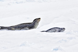 Antarctica. Leopard Seal and Pup Photo by Janet Muir