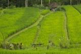 Indonesia, Bali. Terraced Subak Rice Fields of Bali Island Photo by Emily Wilson