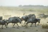 Kenya, Amboseli National Park, Wildebeest Running at Sunset Photo by Anthony Asael