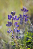 Lupine, California Central Coast, Near Paso Robles, California Photographic Print by Rob Sheppard