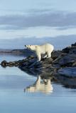 Canada, Nunavut, Repulse Bay, Polar Bears Standing Along Shoreline Photo by Paul Souders