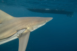 Shark and Remora, Shark Dive, Umkomaas, KwaZulu-Natal, South Africa Photo by Pete Oxford