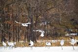Red Crowned Cranes in Snow Hokkaido Japan Photo by Peter Adams