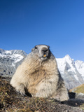 Alpine Marmot in the Hohe Tauern, Mount Grossglockner. Austria Photo by Martin Zwick