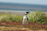 Falkland Islands, Sea Lion Island. Solitary Magellanic Penguin Photographic Print by Cathy & Gordon Illg
