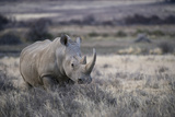 White Rhinoceros, Great Karoo Private Reserve, South Africa Foto af Pete Oxford